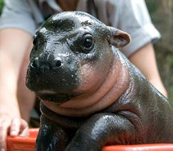 mini hippo mini hippo