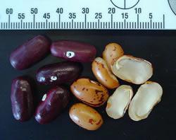 heroin beans heroin beans
