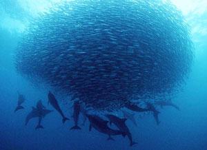 sardines sardines