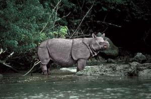 rhino rhino