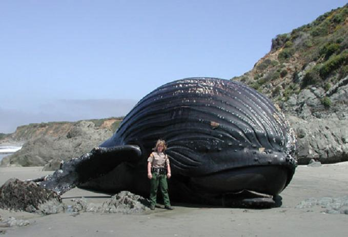 http://twistedsifter.com/wp-content/uploads/2009/06/beached-humpback-whale.jpg