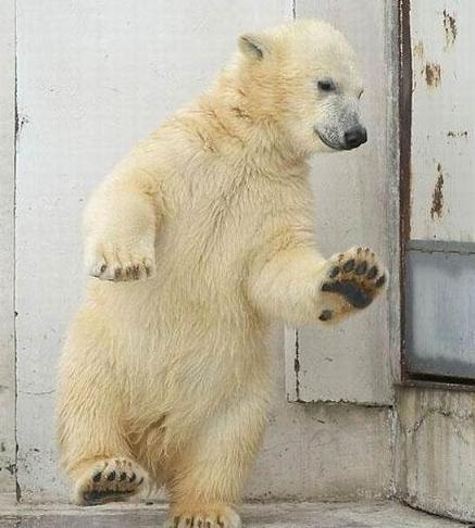 polar bear tippy toe The Friday Shirk Report   July 10, 2009 | Volume 13