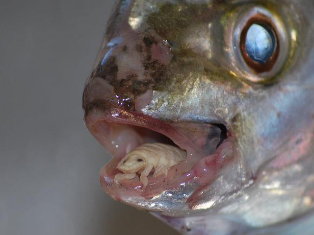 cymothoa exigua insect parasite eats fish tongue A Tongue Eating Parasite That Becomes The Fishs Tongue