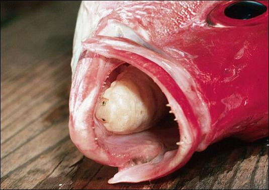 insect eats fishes tongue parasite white bug A Tongue Eating Parasite That Becomes The Fishs Tongue