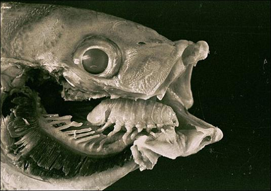 A Tongue Eating Parasite That Becomes The Fish's Tongue