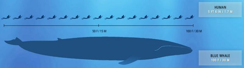 blue whale largest creature ever The Largest Animal Ever