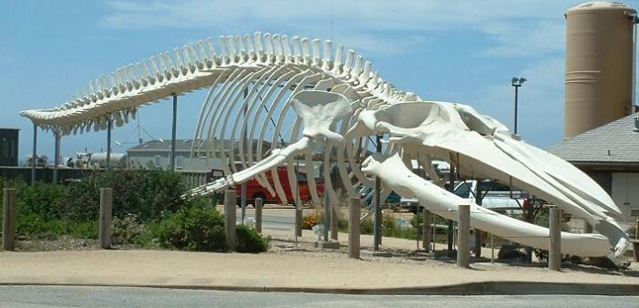 blue-whale-skeleton