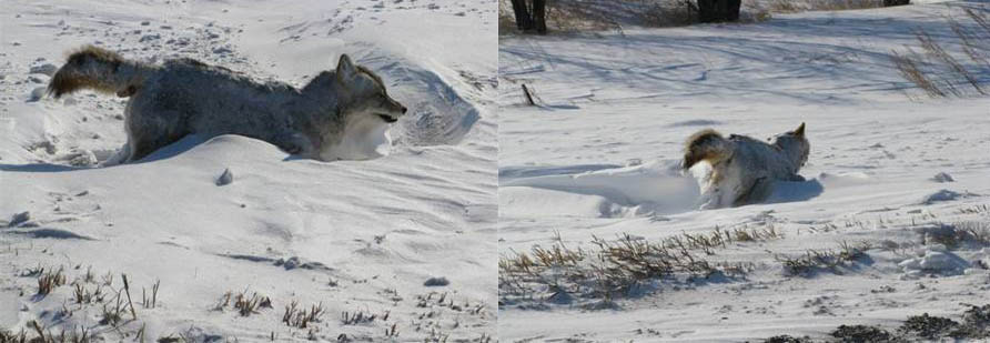 coyote frozen in its tracks Picture of the Day   January 30, 2010
