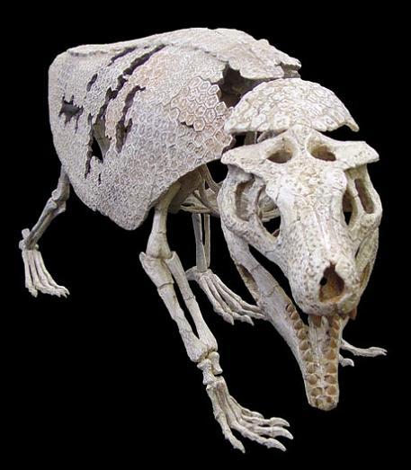 armadillo crocodile fossil Picture of the Day   February 27, 2010