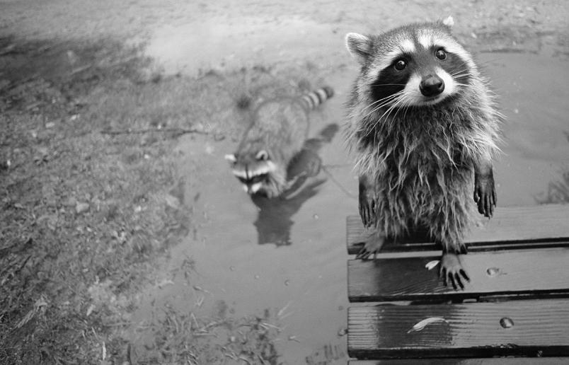 racoon staring at camera Picture of the Day   February 20, 2010