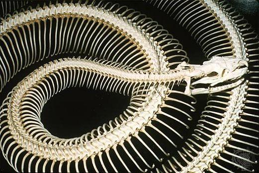 snake-skeletons