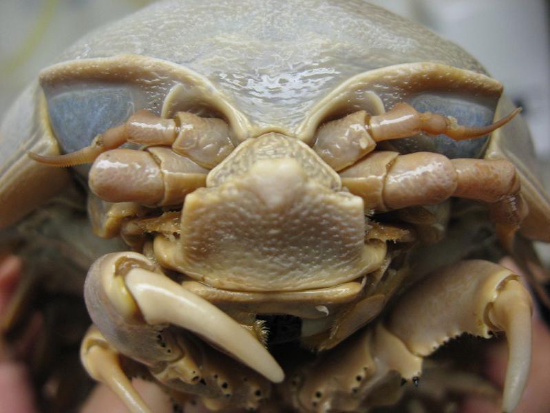 bathynomus giganteus The Giant Isopod