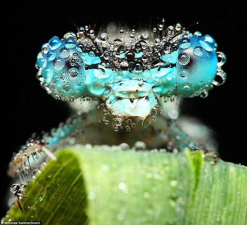 droplets of water dew on blue dragonfly insect Picture of the Day   March 30, 2010