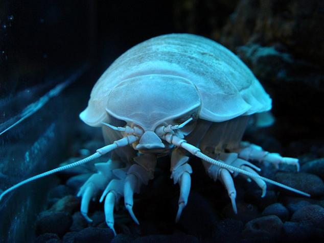 the grossest creature insect ever The Giant Isopod