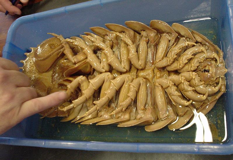 the most disgusting creature ever The Giant Isopod