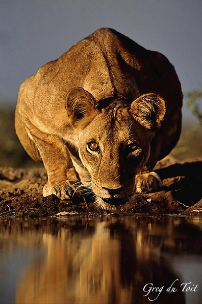 wild lion staring at camera about to drink water Picture of the Day   March 24, 2010