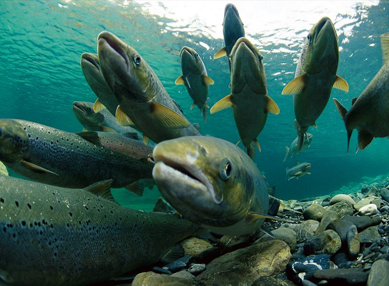 school of salmon 10 Bizarre Names for a Group of Animals