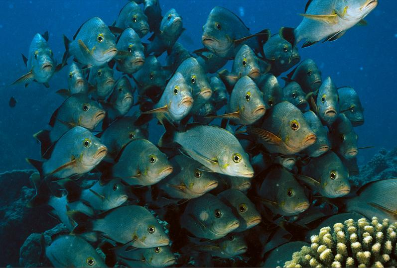 group of fish close together 15 Fascinating Schools of Fish
