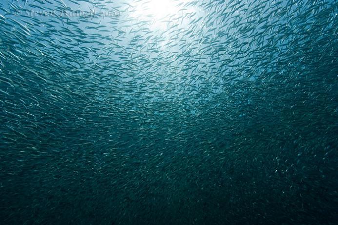 massive group of sardines 15 Fascinating Schools of Fish