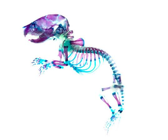 rainbow skeleton and see through skin 21 Specimens with Transparent Skin and Rainbow Skeletons