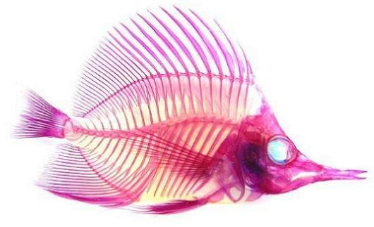 see through fish with red skeleton 21 Specimens with Transparent Skin and Rainbow Skeletons