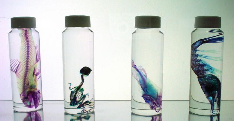 specimens in jar with colored skeleton 21 Specimens with Transparent Skin and Rainbow Skeletons
