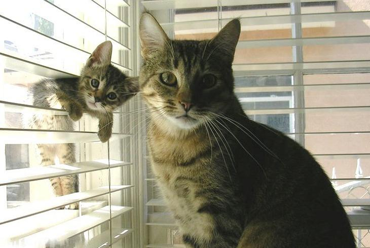 baby cat in window blinds posing with mom Picture of the Day   August 22, 2010