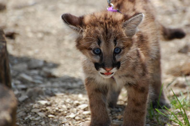 baby-panther-puma-cougar