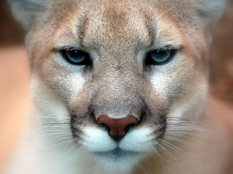 cougar close up face eyes Top Animal & Nature Posts of 2010
