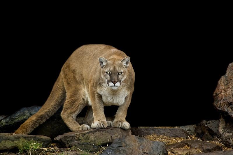 cougar-head-on