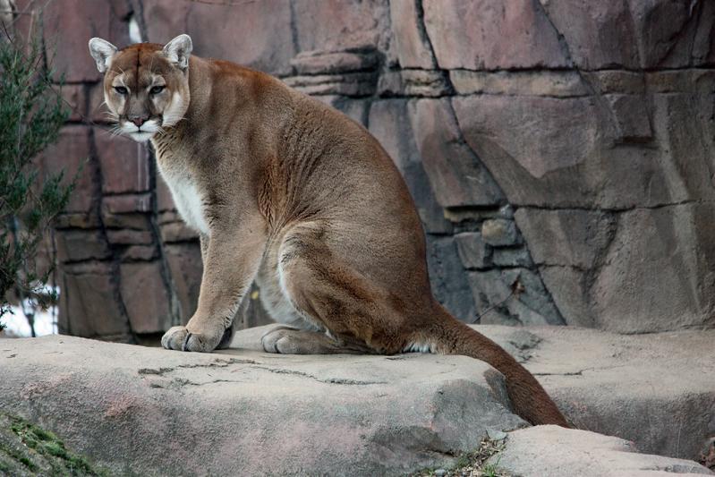 cougar-panther-puma-sitting