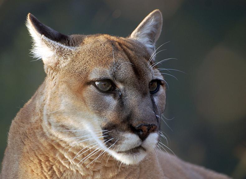 cougar-puma-mountain-lion-catamount-panther