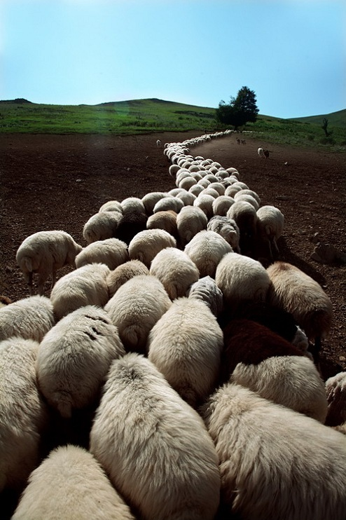herd of sheep Picture of the Day   September 14, 2010