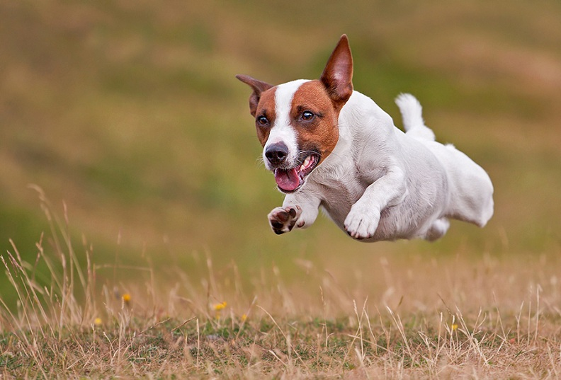 jack russel terrier dog in mid air Picture of the Day   September 26, 2010