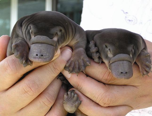 baby platypus The Worlds Weirdest Mammal   The Platypus