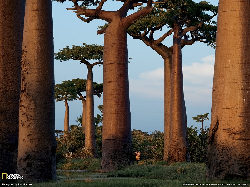 baobab trees madagascar Picture of the Day   Baobab Trees of Madagascar | Oct 26, 2010