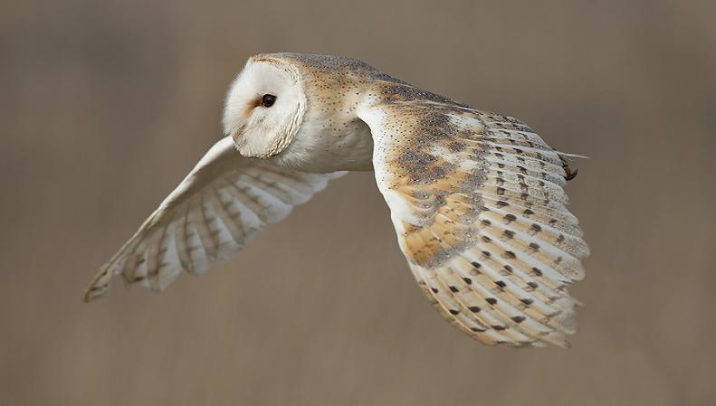 barn owl in flight 25 Stunning Photographs of Birds in Flight