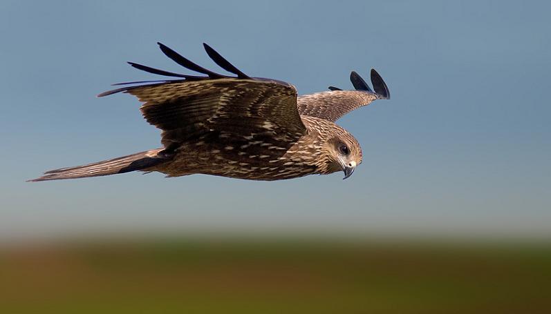 black kite flying 25 Stunning Photographs of Birds in Flight