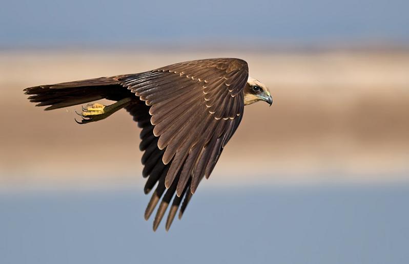harsh harrier 25 Stunning Photographs of Birds in Flight