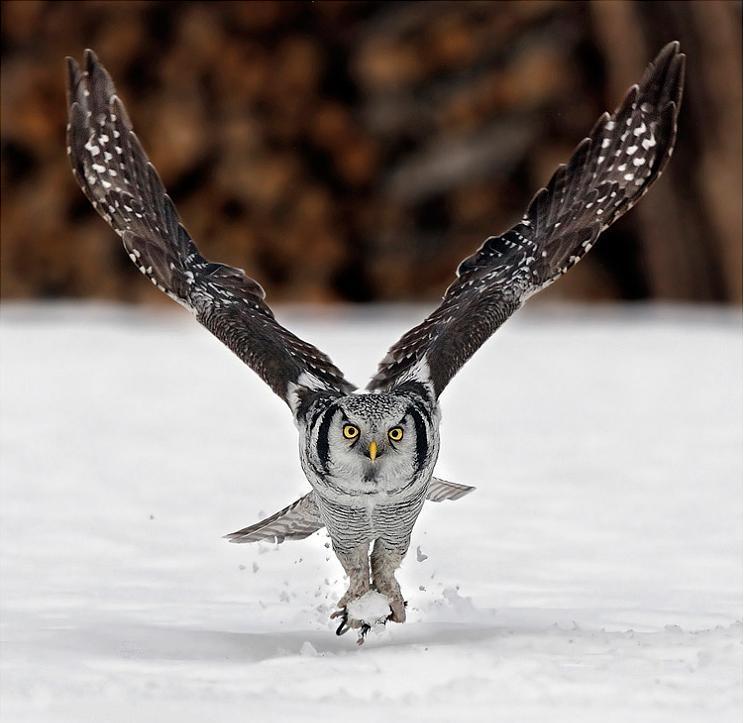 northern hawk owl 25 Stunning Photographs of Birds in Flight