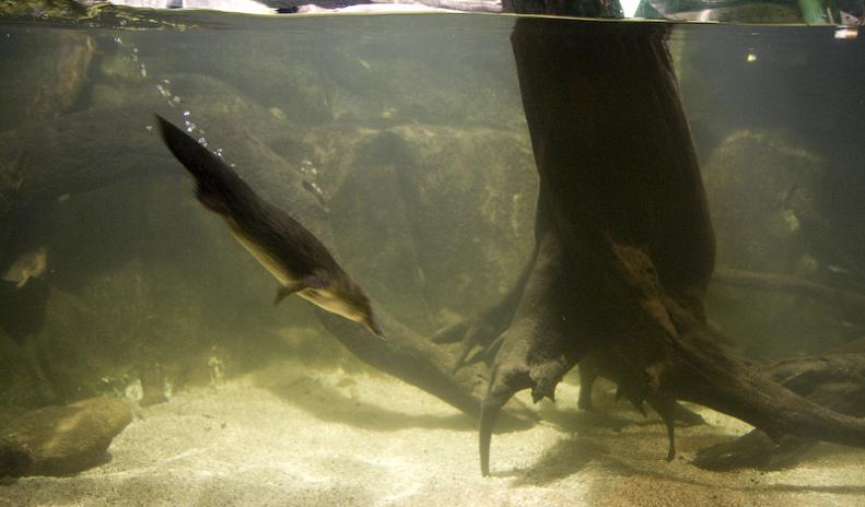 platypus diving The Worlds Weirdest Mammal   The Platypus