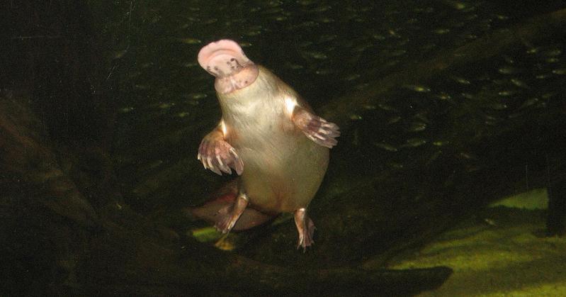 platypus swimming The Worlds Weirdest Mammal   The Platypus