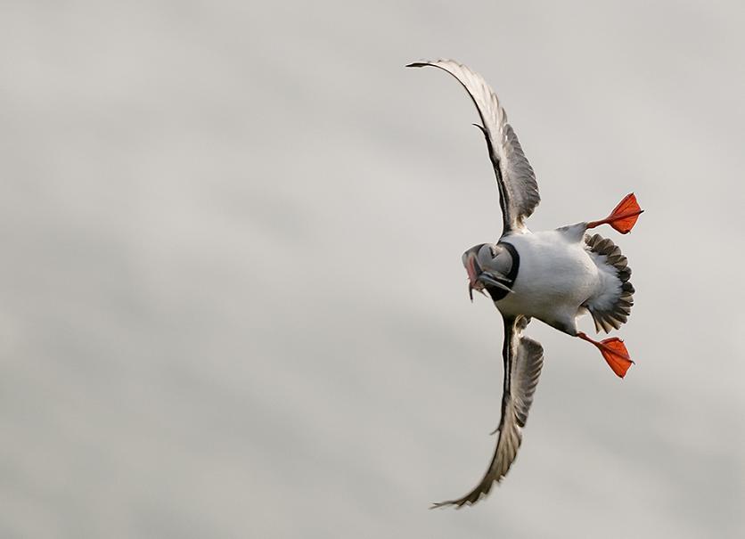 puffin in flight 25 Stunning Photographs of Birds in Flight