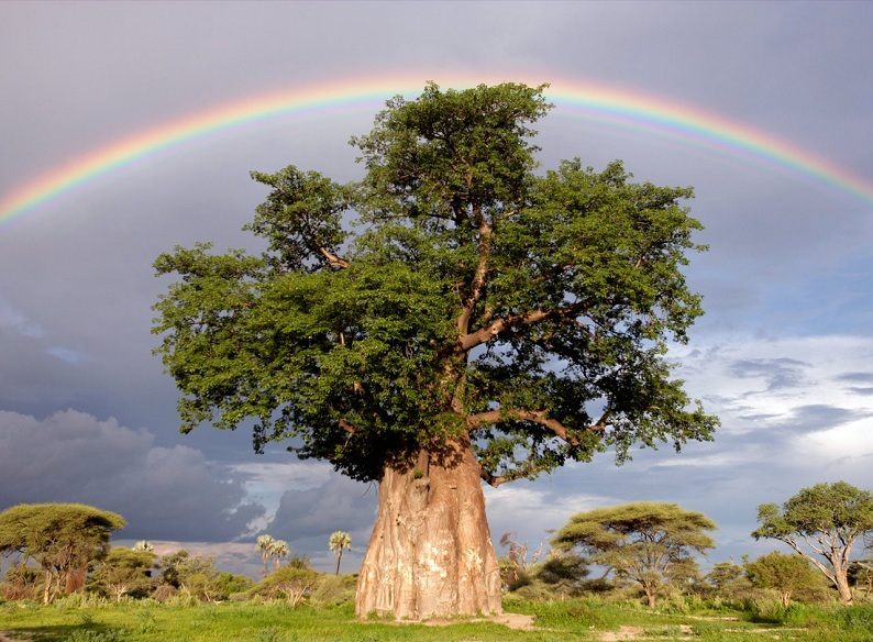 rainbow over baobab tree1 Picture of the Day   October 5, 2010