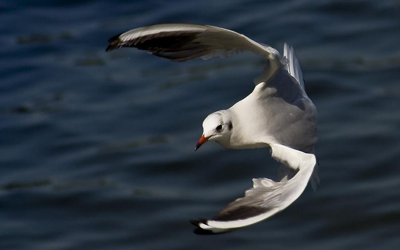 seagull flying 25 Stunning Photographs of Birds in Flight