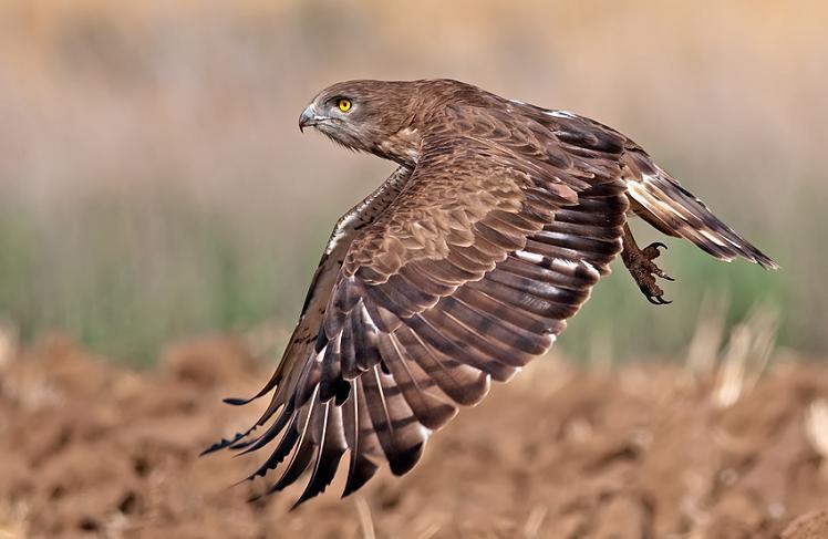 short toed eagle midflight 25 Stunning Photographs of Birds in Flight