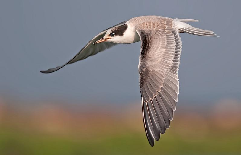 tern in flight 25 Stunning Photographs of Birds in Flight