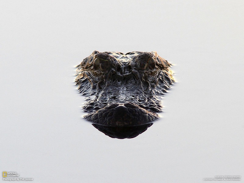alligator head above water Picture of the Day   The Lurker | Nov 2, 2010