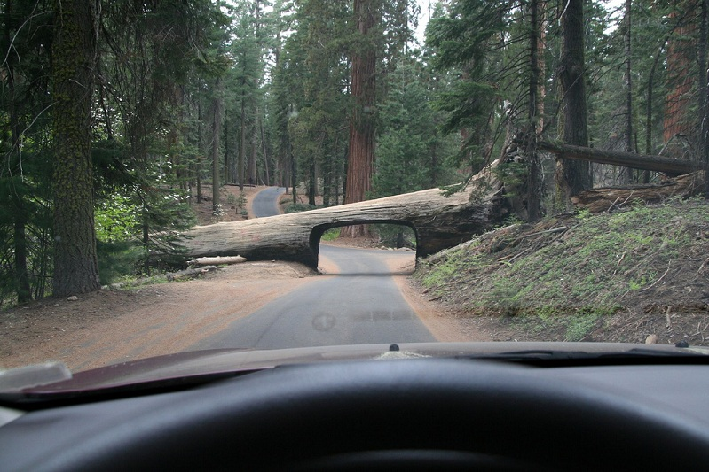 fallen tree with tunnel through it road log Picture of the Day: This Road Goes Through a Tree