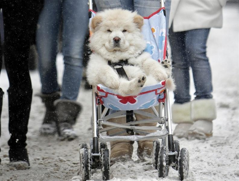 dog riding in stroller The Friday Shirk Report   December 31, 2010   Volume 90